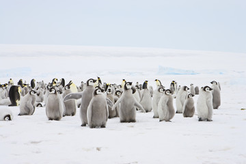 Emperor Penguin (Aptenodytes forsteri), chicks at Snow Hill Island, Weddel Sea, Antarctica