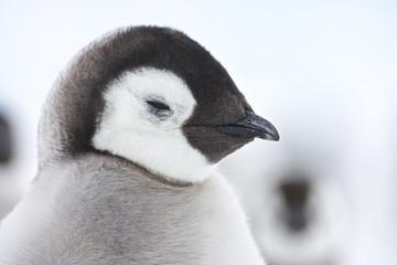 Emperor Penguin (Aptenodytes forsteri), chicks at Snow Hill Island, Weddel Sea, Antarctica