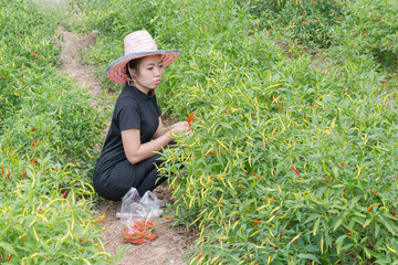 Woman farmer picking  .chilli in agricultural field