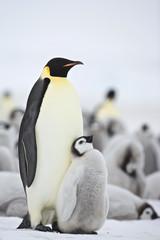 Emperor Penguin (Aptenodytes forsteri) with chick at Snow Hill Island, Weddel Sea, Antarctica
