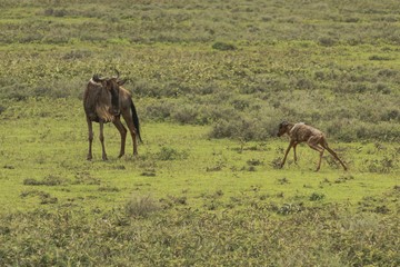 Great Migration of Serengeti