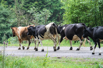 Herd of cows on a country road