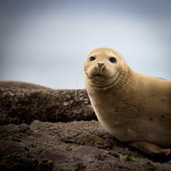 Harbor Seals at California Coastal Line
