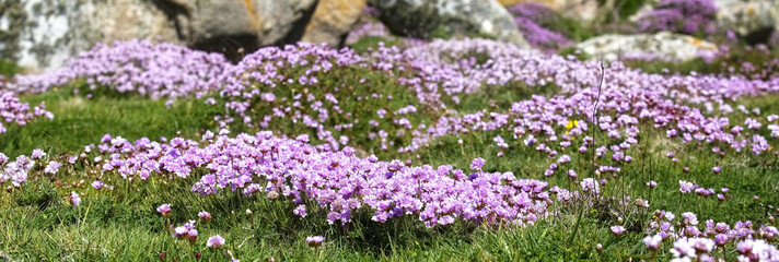 A carpet of Thrift or Sea Pink (Armeria maritima) on Gugh, Isles of Scilly, Cornwall, England, UK.