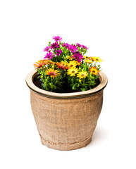beautiful  colorful daisy flowers in big pot decorated with sackcloth isolated on white