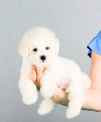 A white puppy lies on a woman's hand. Fluffy little dog. Bichon Frize, French lapdog.