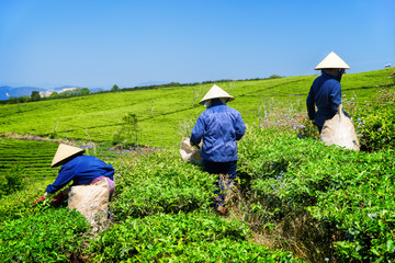 Workers in hats picking upper fresh bright green tea leaves