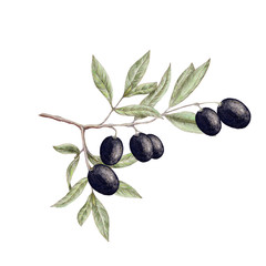 Isolated illustration of olive branch