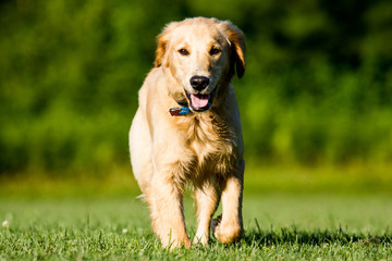 Golden Retriever on Field