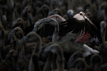 Flamingo chicks are seen in a corral before being fitted with identity rings at a lagoon in the Fuente de Piedra natural reserve, near Malaga