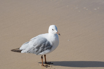 Cute Seagull standing on a sand beach background.