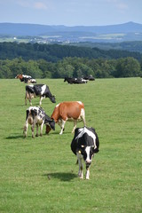 Eifel in Germany with cows