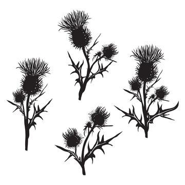 Decorative vector thistle (Carduus acanthoides)