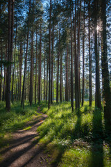 footpath to a pine forest
