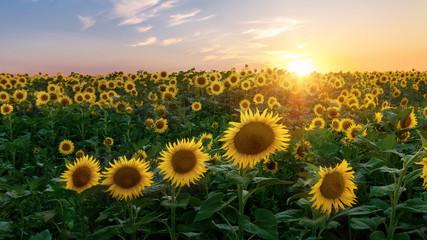 Fototapeta sunflower field / bright summer photo field of Ukraine