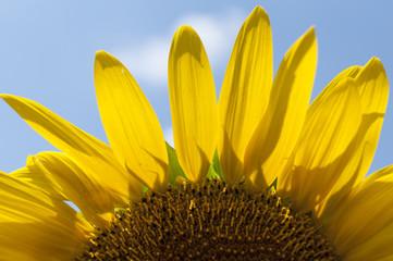 8月の青空と向日葵