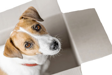 Dog Jack Russell Terrier sitting in gray Cardboard parcel box looking in camera On white isolated background