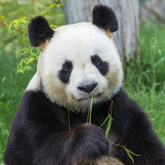 Fotorollo Pandas Giant panda sitting on the grass eating bamboo