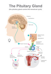 The pituitary gland help control secreted Hormones of growth. Vector infographic.