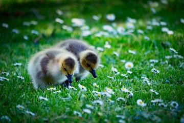 Canadian Goose Chicken