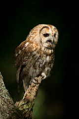 Wall Mural - Tawny owl perched on a tree in a patch of sunlight with dark woodlands in the background.