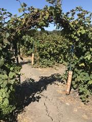 blabkberry vine