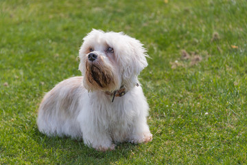 Small white Dandie Dinmont Terrier sitting on grass looking to the left