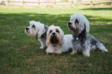 Three small white Dandie Dinmont Terriers sitting on the grass looking to the left