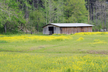 Old Barn in Meadow of Yellow Wildflowers