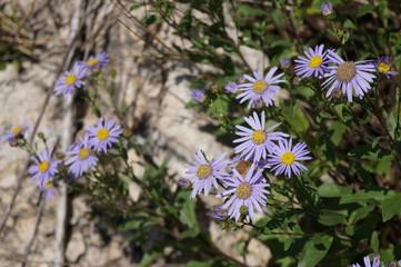 Wildflower -  European michaelmas daisy (Aster amellus)