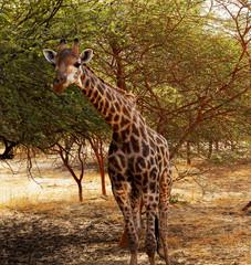 Jirafa en Senegal, África