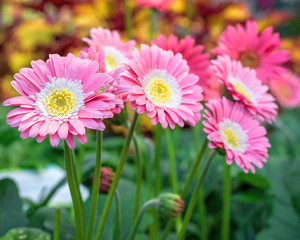 Beautiful pink, white and yellow Gerbera flowers in bloom.