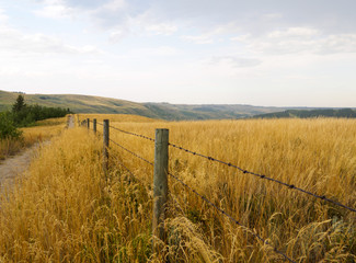 Barbed wire fence running parallel to a dirt pathway surrounded by tall native indian grass in Alberta