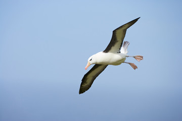 Black Browed Albatross (Thalassarche melanofris), Falkland Islands, South Atlantic Ocean