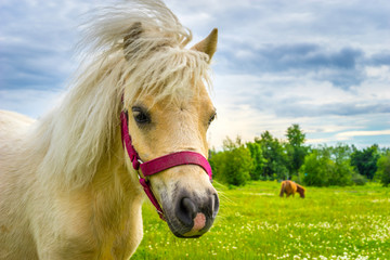 Horse looking at the camera. Portrait of a horse. White pony on a background of green grass. White...