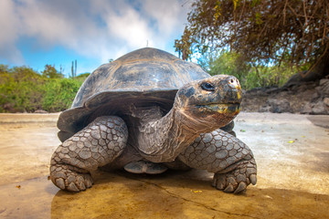 Photo sur cadre textile Tortue Galapagos Islands. Galapagos tortoise. Big turtle. Ecuador.