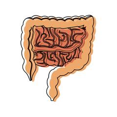 human intestines in digestive system health