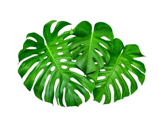 Monstera leaves, tropical jungle design pattern, Swiss Cheese Plant, isolated on whitebackground