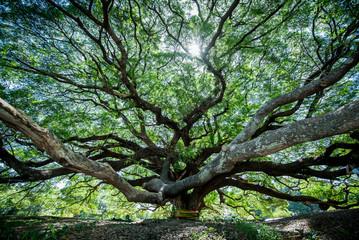 Large Samanea saman tree with branch in Kanchanaburi, Thailand