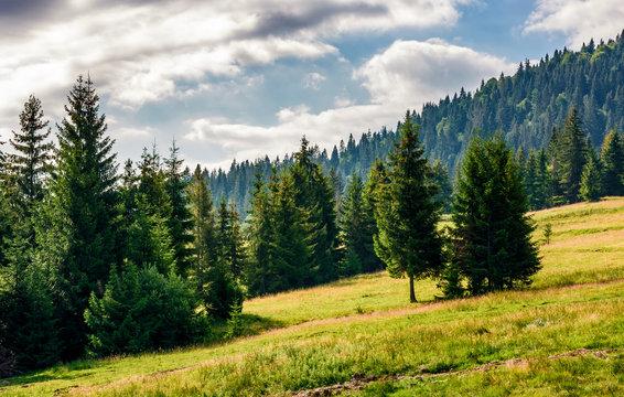 spruce forest in summer landscape