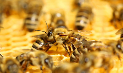 Bees on the honeycomb