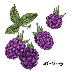 Hand drawn color sketch berries. Ripe blackberry branch isolated on white. Vector illustration vintage