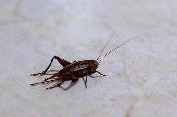 Mediterranean field cricket Gryllus bimaculatus