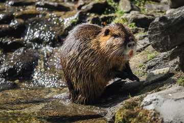 A beaver by the water