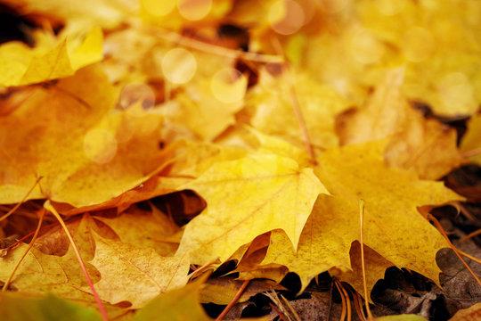 Autumn yellow leaves. Autumn background