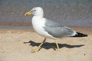 close up di un gabbiano che passeggia sul bagnasciuga di una spiaggia di sabbia bianca della Costa Smeralda