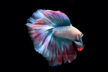yellow fighting fish on a black background.