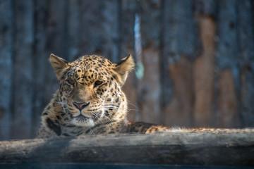 Far-Eastern leopard strong fast wild animal