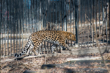 Far-Eastern leopard strong fast wild animal