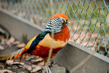 beautiful golden pheasant isolated